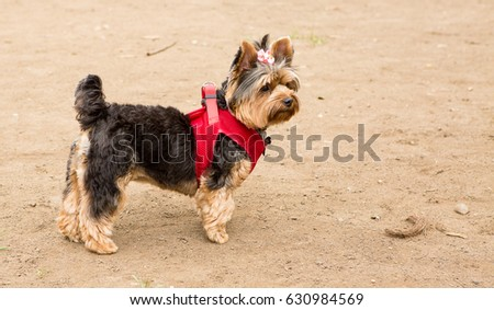 The Yorkshire Terrier is a small dog breed of terrier type, developed during the 19th century in Yorkshire, England