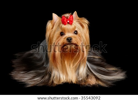 The Yorkshire Terrier on black background