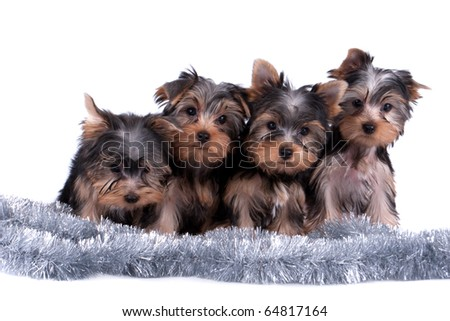 The Yorkshire terrier puppy on white background - stock photo