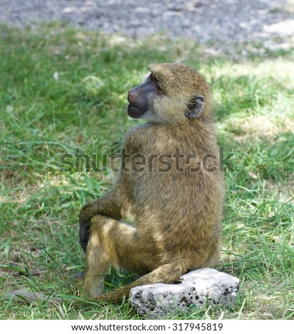 The young baboon is sitting on the grass field
