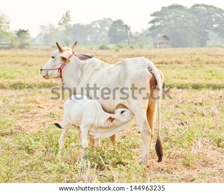 The young calf drinking milk from cow's udder - stock photo