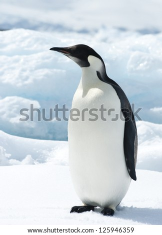 The young emperor penguin on the ice a bright sunny day. - stock photo