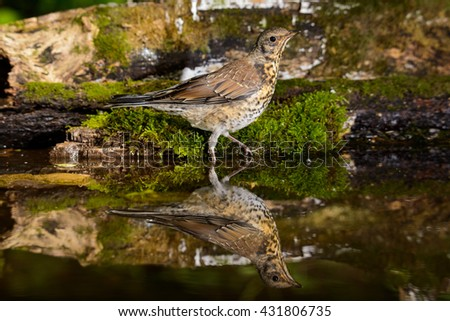 The young Fieldfare sitting on a tree trunk in moss