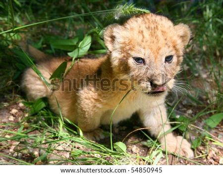 The young lion hides in a grass - stock photo