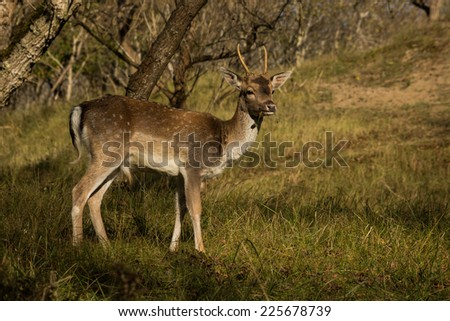 The young male fallow-deer - stock photo