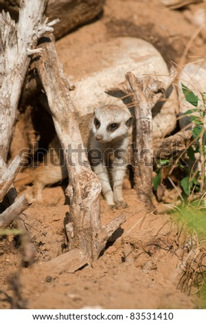 The young meerkat has got out of a hole - stock photo