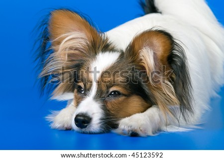 The young papillon on a blue background
