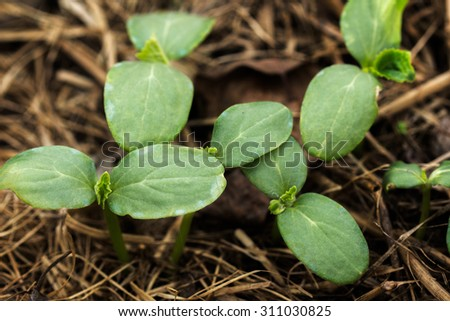 The young shoots of cucumber in the stage of cotyledon leaves - stock photo