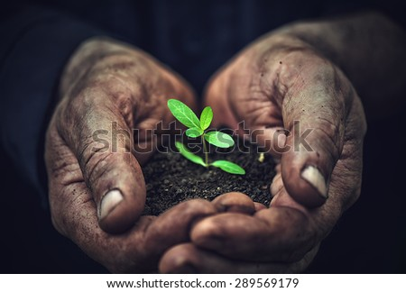 the young sprout plants in old dirty hands, concept - stock photo