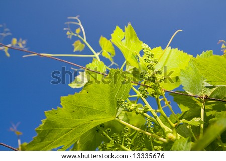 The young vine - stock photo