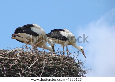 the younger generation stork family on the nest - stock photo