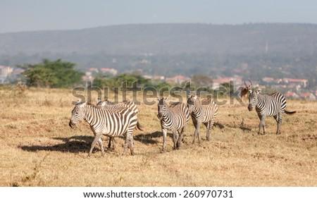 The zebras in the grasslands, Africa. Kenya - stock photo