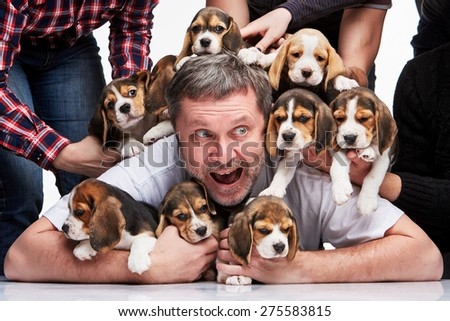The zonked  man and big group of a beagle puppies on white background - stock photo