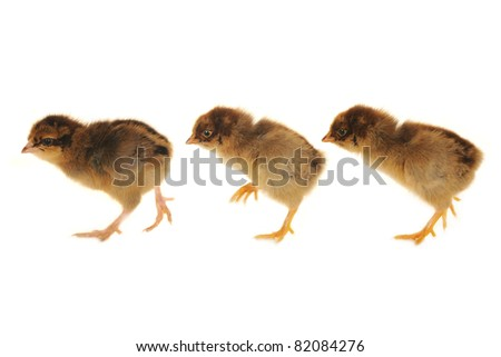 thee chick on a white background - stock photo