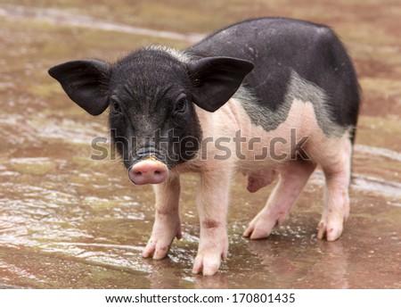 theme of the animal--pig - stock photo