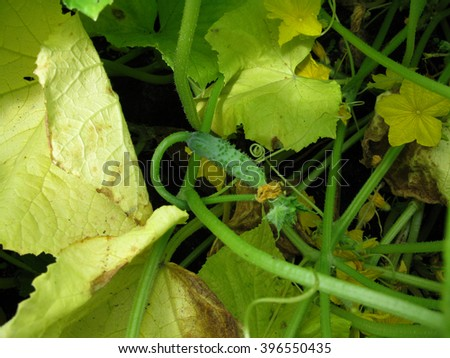 There are green cucumber and  leaves - stock photo