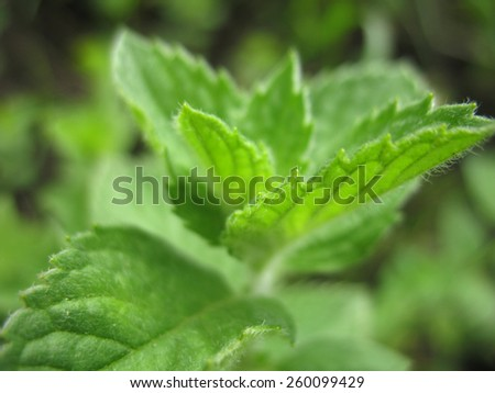 There  are green leaves and branches of mint - stock photo