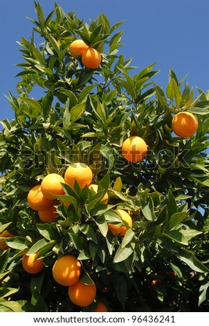 There are many fruits on the orange tree.  Several oranges are photographed against a blue sky.