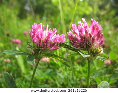 There are pink flowers  of clover and green grass - stock photo