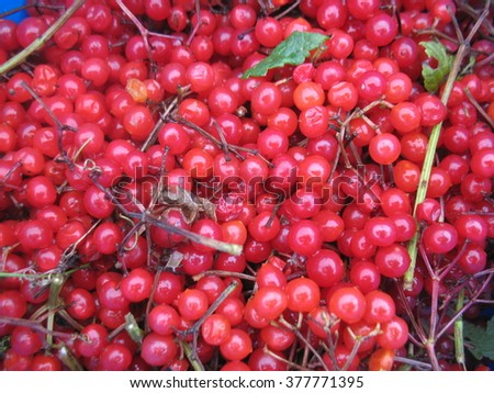 There are red berries of guelder-rose - stock photo