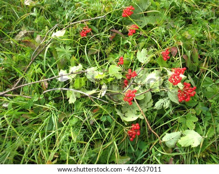 There are red berries of guelder-rose on green grass - stock photo
