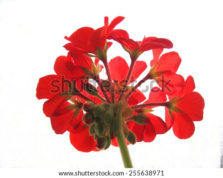 There are red flowers of geranium - stock photo