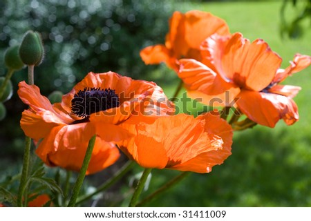 There are several out of focus poppies and green foliage behind an in focus poppy in the foreground.