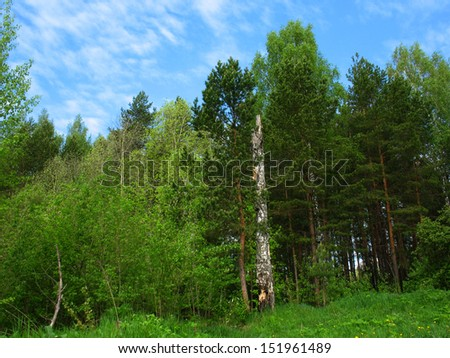 There are trees in a summer  forest