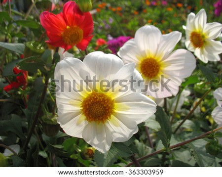 There are white, red flowers of anemone and green grass - stock photo