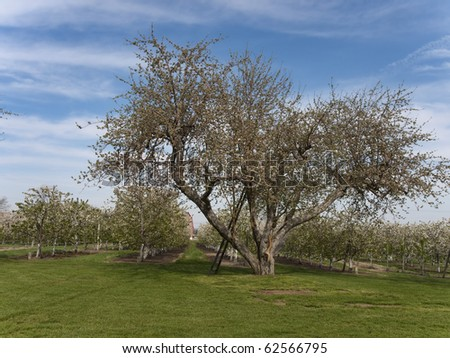 There is a ladder leaning up against a tree in the apple orchard in the spring.