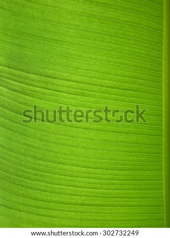 there is one juicy green banana leaf - stock photo