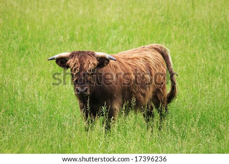 there is some bull here - stock photo