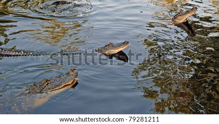 These alligators are found in a bayou Southeast of New Orleans - stock photo