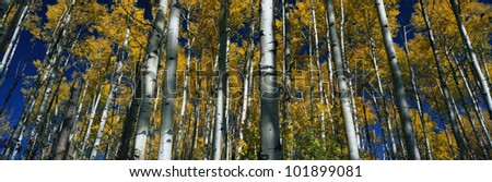 These are aspens in autumn with fall leaves. - stock photo