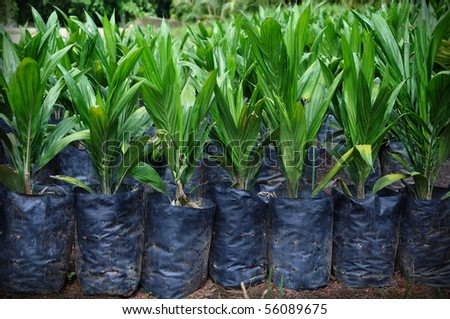 These are bunch of-four-month-old Crude Palm Oil Plant. - stock photo