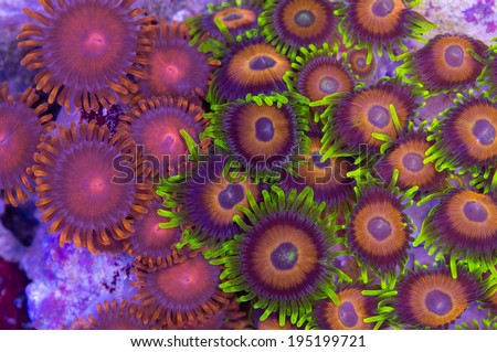 These are contrasting zoanthids encrusting on a rock. - stock photo