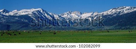 These are cows grazing near the Sierra Mountains in spring.