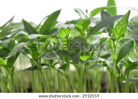 these are green seedling of pepper - agriculture