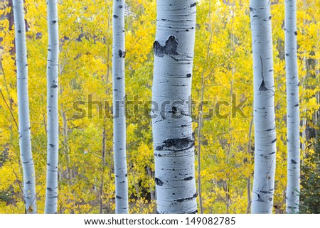 These Aspen Trees in Vail Colorado are lit with blue early morning skylight while behind them the golden yellow color of Fall Aspen Leaves contrasts their color - stock photo