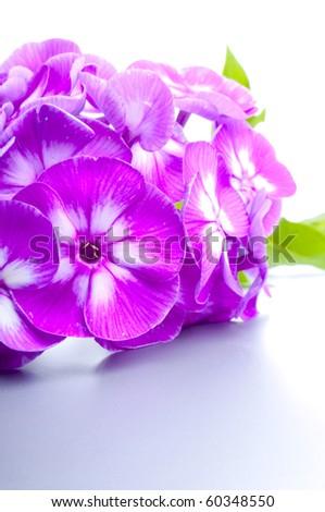 These beautiful phloxes - stock photo