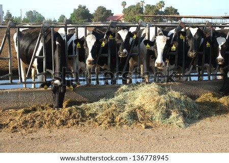 These cattle are feeding at a trough in a large Central California dairy farm - stock photo