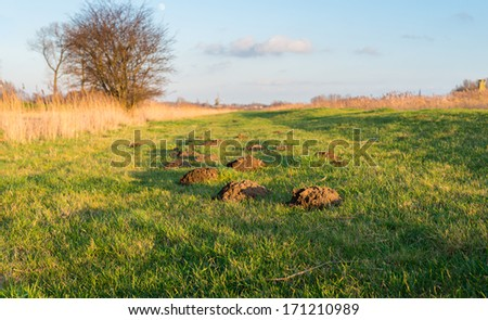 These molehills are more noticeable in the grass because of the low sun and the golden glow. - stock photo