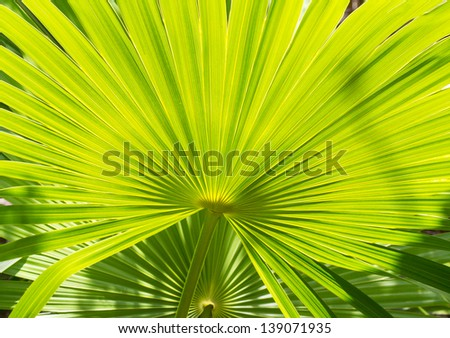 These palm leaves are backlit by the Sun in Marathon Keys. - stock photo