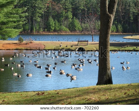These ponds are about filled to capacity with geese, on a sunny autumn day
