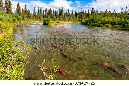 These sockeye aka red salmon swam up the Copper River hundreds of miles to reach these spawning grounds - stock photo