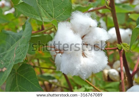 These white soft fluffy cottons for our lovely comfortable clothes - stock photo