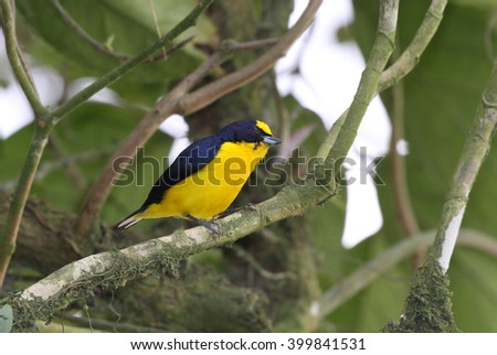 Thick-billed Euphonia (Euphonia laniirostris) male perched on a tree branch - stock photo