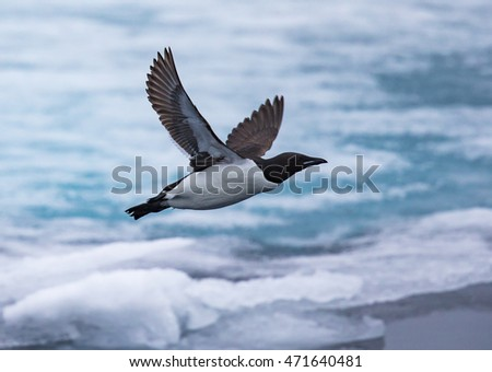 Thick-billed murre in flight near Spitsbergen, Norway
