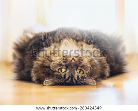 Thick fluffy cat is lying Relaxed on his back and looks into the camera on wood floor at home - stock photo