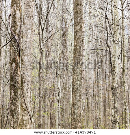 Thick forest in early spring, tree trunks natural background. - stock photo